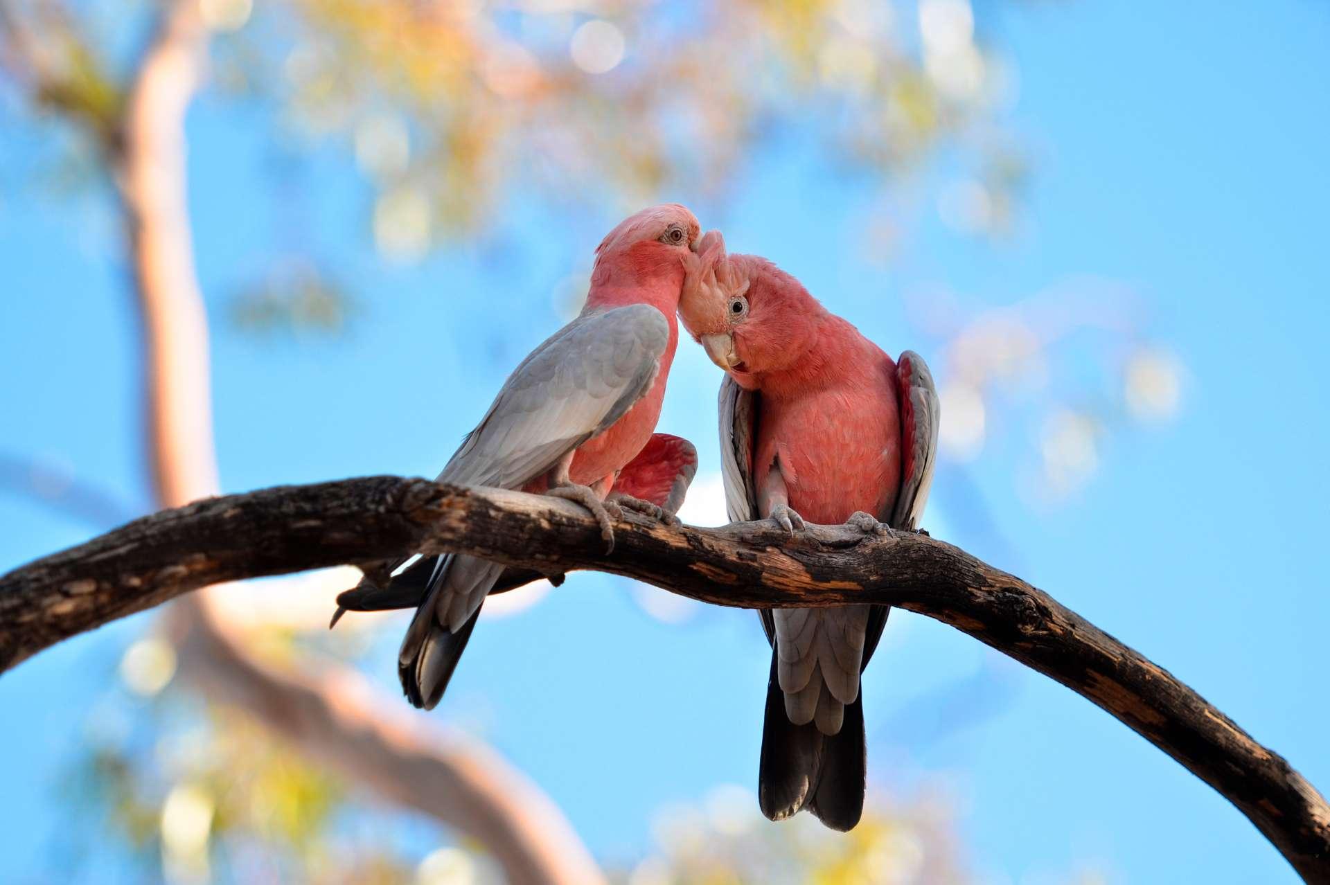 twee papegaaien liefkozend altijd samen